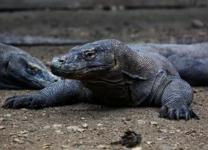 Komodo Dragons – The Largest Living Lizard on Earth