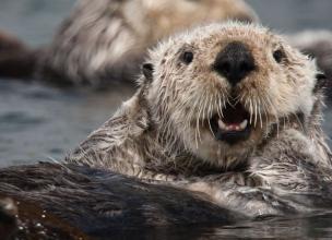 Sea Otters – Amazing Endangered Species Animals