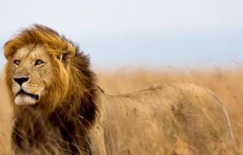 The Lifestory of Cecil the Lion - From endangered species to a legend