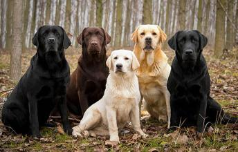 American Kennel Club Chose 10 Most Popular Dog Breeds