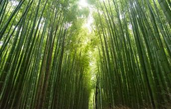 Bamboo – The Tree of The Future