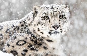 Snow Leopard – One of the Most Unique Cats in the World is Endangered
