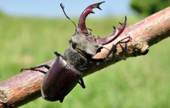 Stag Beetle – The Most Expensive Insect in the World