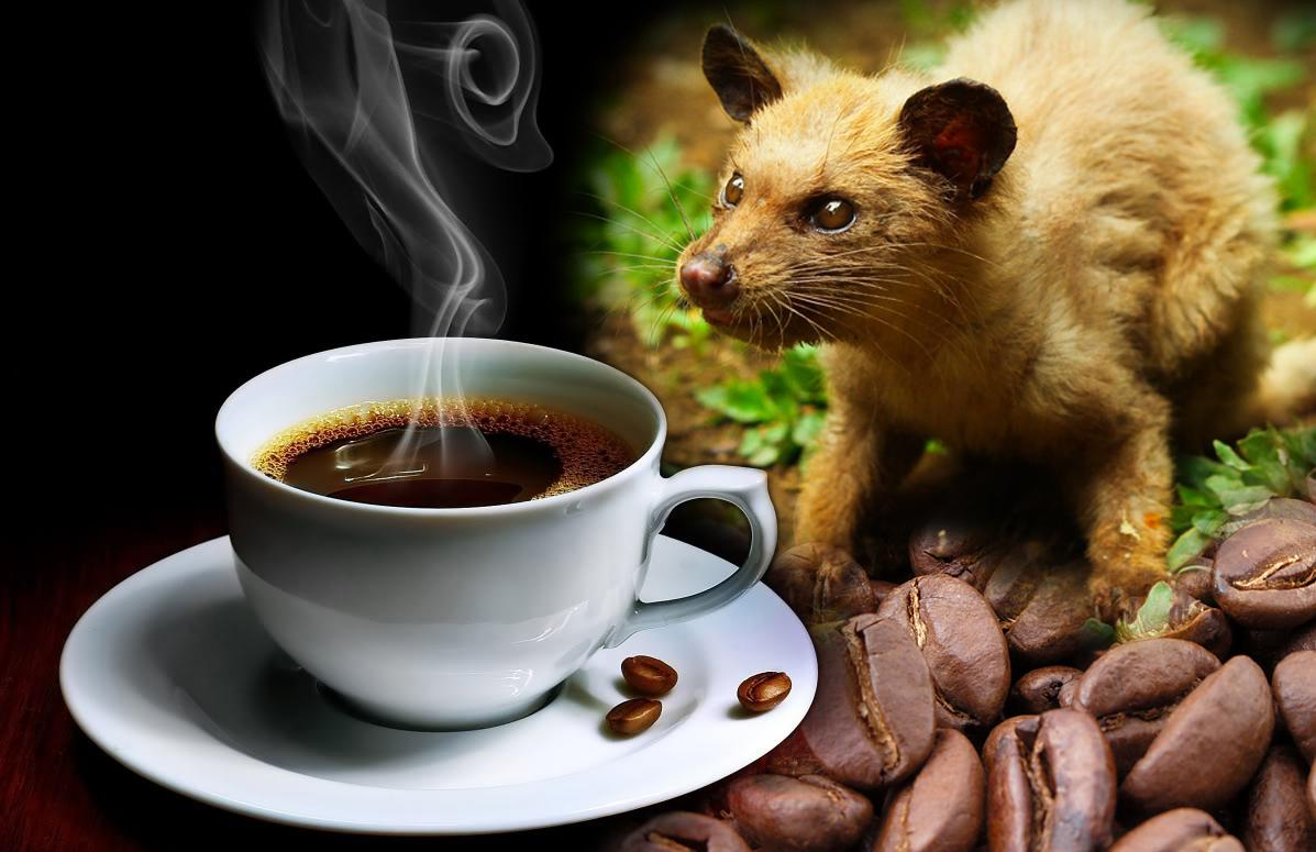 Kopi Luwak - What Makes the Coffee the Most Expensive in the World