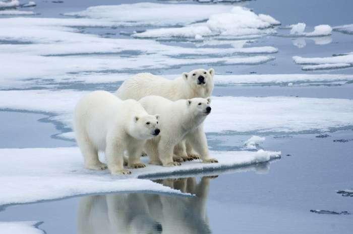 Polar Bears – The Adorable Largest Land Predator