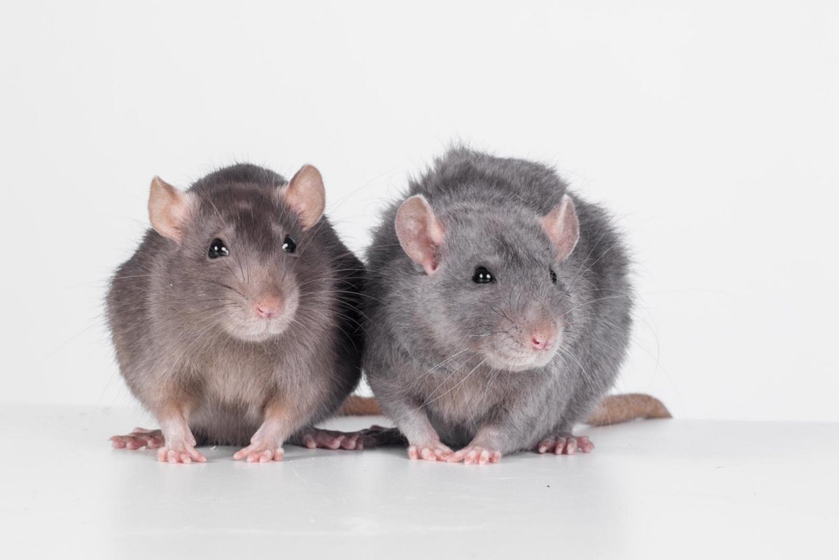 Rats – More Than Just Laboratory Experiment