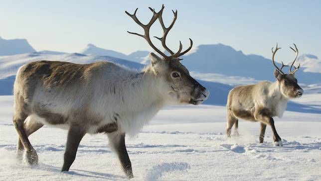 Ten Interesting Facts about Reindeer