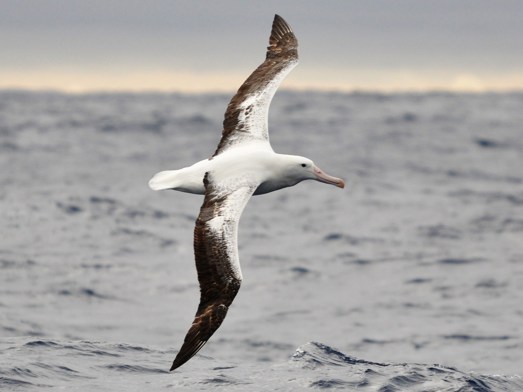 The Albatross, Sea Bird that Can go Years Without Landing